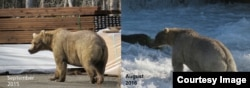 Holly in late September of 2015 compared to mid August 2016. (Photos courtesy of T. Carmack)
