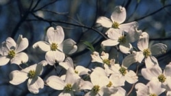 Dogwood blossoms in the Great Smoky Mountains National Park near Gatlinburg, Tennessee