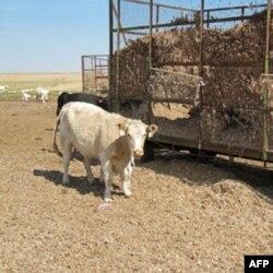 Texasda qurg'oqchilik, rancholar bo'shab qolgan