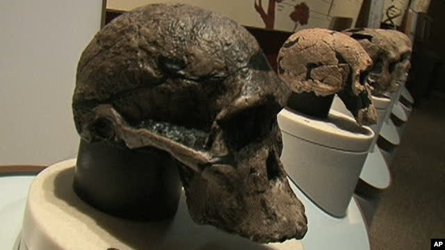 Human skulls on display at the Smithsonian Institution's Natural Museum of Natural History