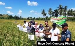 Panen raya padi metode SRI di Sumba Timur, Kamis 25 April 2019. (courtesy: Bayu Dwi)