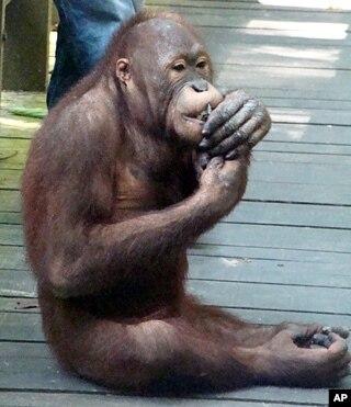 Saving Asia s Orangutans May Orangutan M W