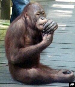 A young male orangutan