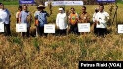 Gubernur Jawa Timur Khofifah Indar Parawansa memanen padi ratun R5 di Puspa Agro, Sidoarjo, yang dipercaya mampu mengatasi masalah ketersediaan pangan nasional (foto: VOA/Petrus Riski)