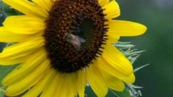 Gardeners Count Bees across North America