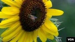 Les abeilles sont des pollinisateurs essentiels à la chaine alimentaire