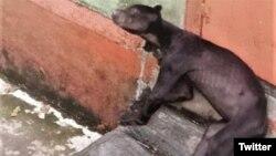 Beruang madu di kebun binatang Singkawang, Kalbar yang tampak kurus (Courtesy: Twitter).