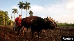 Un agricultor prepara una parcela de tierra para sembrar con dos bueyes en La Lisa, en las afueras de La Habana, Cuba.