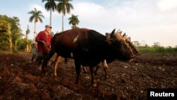 FILE - A farmer plows the land with two oxen in La Lisa on the outskirts of Havana.
