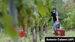 Alexandra Ichim, a 20-year-old Romanian, works during a grape harvest in Rocca de Giorgi, Italy, Thursday, Sept. 10, 2020. (AP Photo/Antonio Calanni)