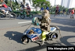 A trained monkey sits on a wooden copy of a racing motorbike as cyclists ride past in Jakarta, Indonesia, Sunday, May 30, 2010. (AP Photo/Dita Alangkara)