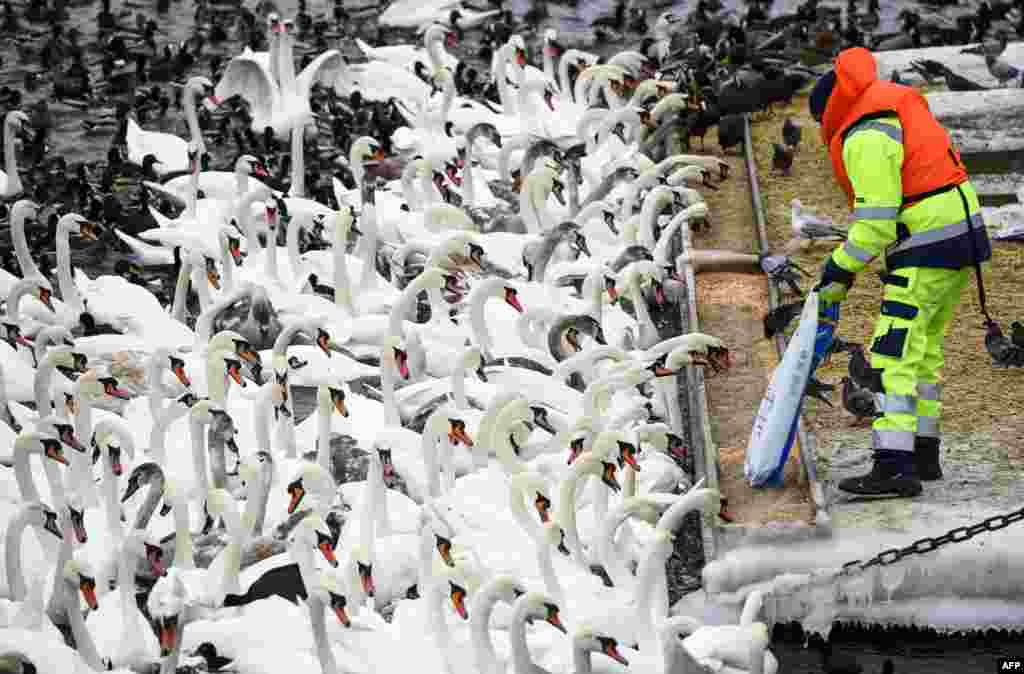 Hundreds of swans and different birds are fed in Stockholm, Sweden.
