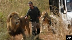 "FILE - Kevin Richardson, known as the ""lion whisperer,"" takes two of his lions for a walk in the Dinokeng Game Reserve, near Pretoria, South Africa, March 15, 2017."