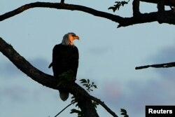 امریکہ کا مشہور گنجا عقاب اپنے شکار کی تلاش میں۔