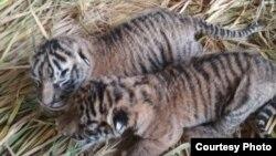 Dua bayi harimau sumatera berjenis kelamin jantan dan betina yang lahir di Taman Margasatwa dan Budaya Kinantan (TMSBK) Bukittinggi, Sumatera Barat. (Foto ilustrasi: TMSBK Bukittinggi/dok)