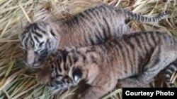 Dua bayi harimau sumatera berjenis kelamin jantan dan betina yang lahir di Taman Margasatwa dan Budaya Kinantan (TMSBK) Bukittinggi, Sumatera Barat. (Foto: TMSBK Bukittinggi.)