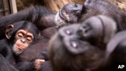 Ilmuwan menyebut bahwa HIV berasal dari sejenis Simpanse di Afrika.