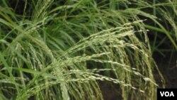 El teff es un cereal de una región del noreste del África y es considerada como una saludable alternativa al trigo.