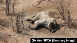 Un éléphant retrouvé mort avec ses défenses d'ivoire méthodiquement arrachées au Botswana, sur une photo publiée le 4 septembre 2018. (Twitter/IFAW)