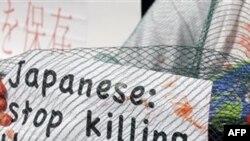Một nhà hoạt động thuộc tổ chức bảo vệ môi trường 'Gala' phản đối hoạt động săn cá voi và cá heo của người Nhật, trước phòng thương mại Nhật ở Milan, Ý