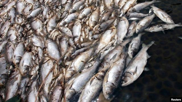 Hàng tấn cá chết đã trôi dạt vào các bờ biển Hà Tĩnh, Quảng Trị, Quảng Bình, và Huế.