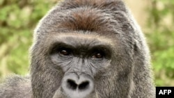 美国辛辛那提动物园的大猩猩哈兰贝。2016年5月28日,一个小男孩掉入大猩猩的活动区域,后,动物园方面为救这个小孩而开枪打死了哈兰贝。(资料照片)