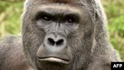 Gorilla Harambe penghuni kebun binatang di Cincinnati, Ohio terpaksa ditembak tewas Sabtu (28/5).