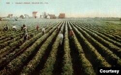 Một thửa ruộng trồng rau cần tây năm 1900, đâu đó trong vùng đất Westminster hay Midway City hiện nay. (Hình: OC Archives)