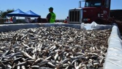 Dead sardines removed from the surface at King Harbor marina in Redondo Beach, California