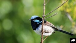 This photo provided by Jessica McLachlan shows a fairy-wren.