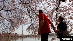 El Monumento a Washington se refleja cuando una pareja camina de la mano debajo de los cerezos a lo largo de la Cuenca Tidal en Washington el 8 de abril de 2013.