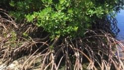 Mangroves လမုေတာဆံုးရႈံးမႈ အႏၱရာယ္
