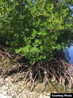 Mangroves excel at capturing and storing carbon.Credit: Stefanie Simpson