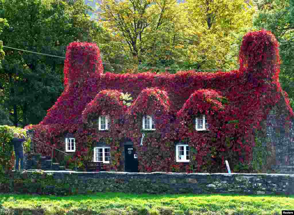A Virginia Creeper covering the Tu Hwnt I'r Bont tearoom has turned to red, as autumn officially starts today with the arrival of the Autumn Equinox, in Llanrwst, North Wales, Britain.