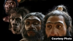 "Paleo-artist John Gurche's reconstructions span more than six million years of human evolution. (John Gurche, ""Shaping Humanity"")"