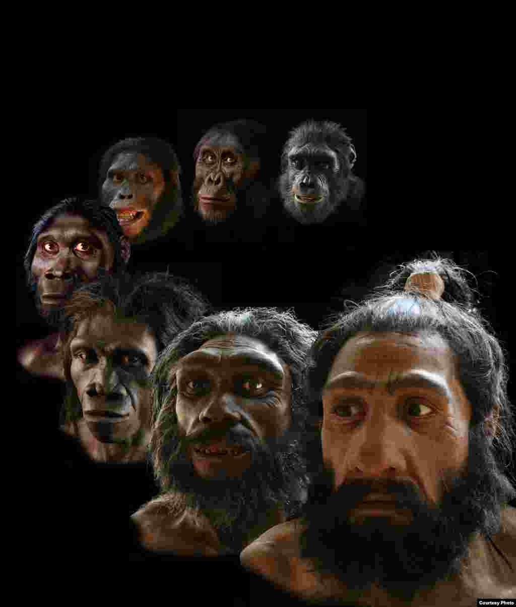 """Rekonstruksi yang dilakukan seniman John Gurche mencakup lebih dari periode enam juta tahun evolusi manusia. (John Gurche, """"Shaping Humanity"""")"""