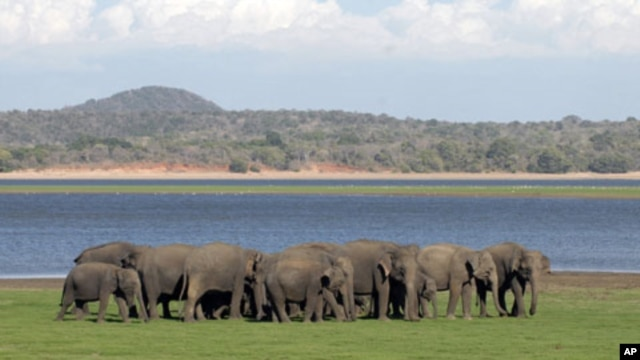 A herd of Sri Lankan wild elephants gather at Minneriya national park August 12, 2011.