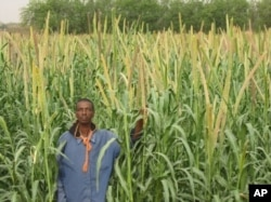 """ICRISAT aims to improve yields of millet in northern Nigeria, where the grain is used for making a thick dough (""""fura""""), a popular drink (""""fura da nunnu"""") and a custard-like food (""""kwoko"""")"""