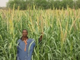 "ICRISAT aims to improve yields of millet in northern Nigeria, where the grain is used for making a thick dough (""fura""), a popular drink (""fura da nunnu"") and a custard-like food (""kwoko"")"