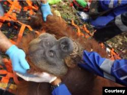 Orangutan Tapanuli saat dievakuasi dari permukiman warga di Dusun Padang Bulan, Desa Marsada, Kecamatan Marsada, Kabupaten Tapanuli Selatan, Sumut. (Courtesy- BBKSDA Sumut).