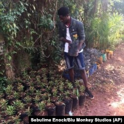 In this Jan. 13, 2020 photo provided by Sebulime Enock, Mulindwa Moses prepares tree saplings for planting in Naayla, Uganda.