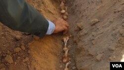 کشت زعفران در هرات