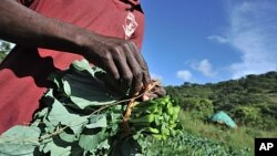 Zimbabwean peasant farmer Munyaradzi Mudapakati holds spinach at his farm in Chinhamora, about 50 km north of Harare on Febuary 10, 2011.