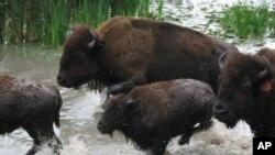 Месото од бизон го освојува американското мени