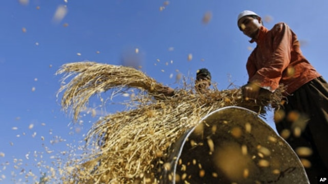 Farmers thresh the grain in Shariefabad on the outskirts of Srinagar, India, October 6, 2010