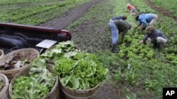 Harvesters weed the lettuce beds at the Many Hands Organic Farm in Barre, Massachusetts.
