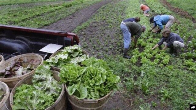 Massachusets shtatida dehqonlar organik usulda yetishtirilgan karam barglarini yig'ib olmoqda, 7-avgust, 2009-yil.