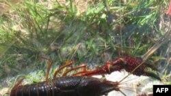 Tôm hùm đỏ khi thoát ra ngoài có thể sẽ gây hại cho các công trình thủy lợi bởi chúng đào hang rất sâu. Đây là loại tôm ăn tạp nên khi phát tán ra ngoài có thể làm hại các loài tôm bản địa