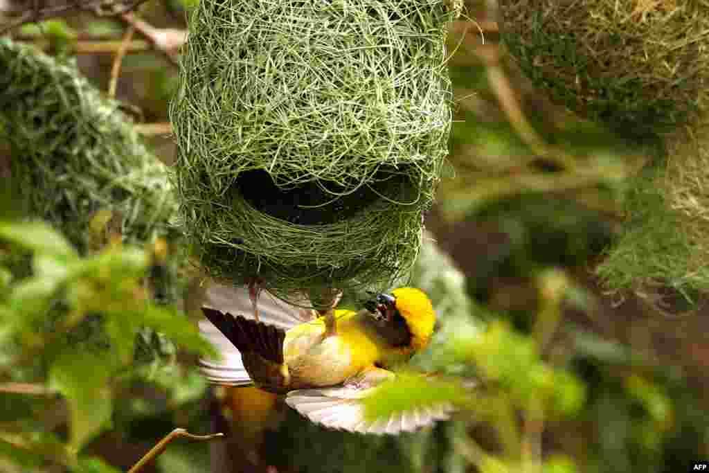 Baya Toxucu quşunun yuvası
