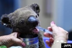 Seekor Koala yang mengalami dehidrasi dan terluka menerima perawatan di Rumah Sakit Port Macquarie Koala di Port Macquarie, 2 November 2019, setelah diselamatkan dari kebakaran semak yang melanda area seluas lebih dari 2.000 hektar. (AFP)